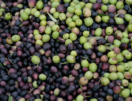 Sonoma Olive Oil Sonoma Valley Vineyard, Winery & Farmstay Inn Estate Olives Olive Oil Orchard