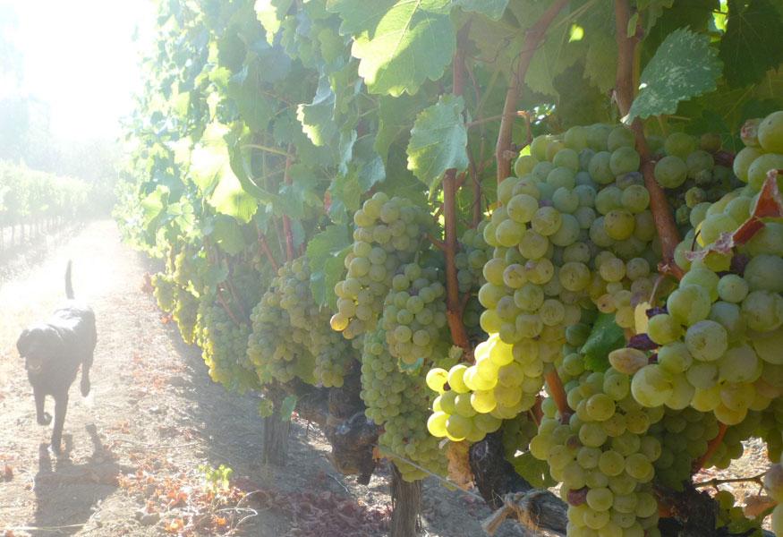 Sonoma Valley Estate Sauvignon Blanc Vineyard Farm Stay Historic
